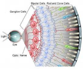 receptor cells in the retina responsible for color vision are caleblookeye photoreceptors