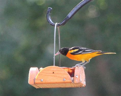 feeding orioles can mean a jelly good time the wichita
