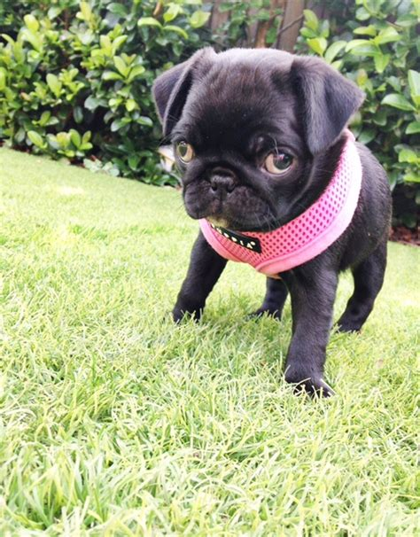 pug puppies canberra pug canberra