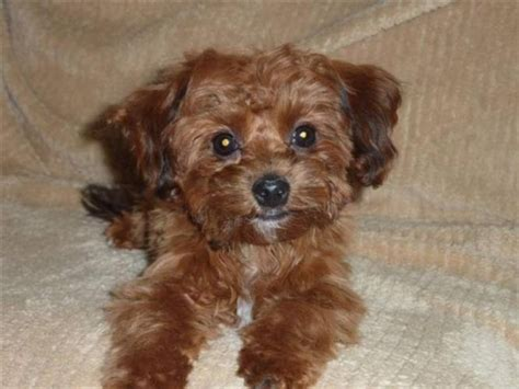 teacup yorkie and shih tzu mix best 25 bichon shih tzu mix ideas on teddy goldendoodle