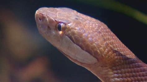 Garter Snake Vs Copperhead Mistakes Poisonous Copperhead For Garter Snake