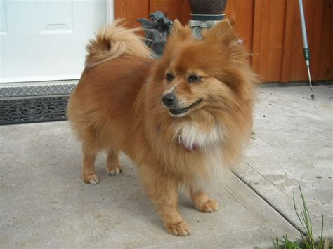 pomeranian disposition poshie pomeranian x sheltie mix info temperament puppies pictures