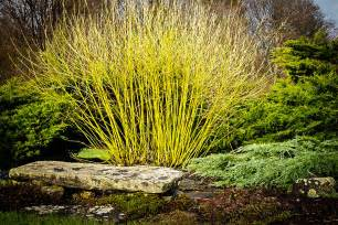 yellow twig dogwood the tree center