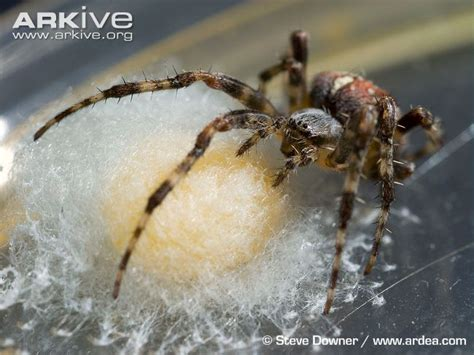 Garden Spider Egg Sac by Garden Spider Egg Sac Images