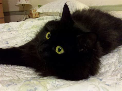 bed eyes 30 best black siberian cat pictures and images