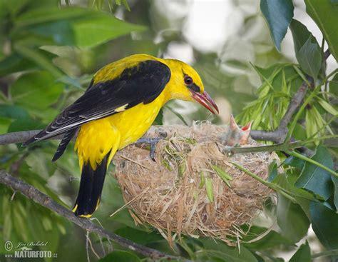 Golden Bird golden oriole photos golden oriole images nature