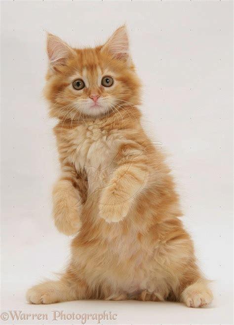 So Untuk Kucing Anggora carane kepiye 150 gambar kucing lucu dan imut anggora