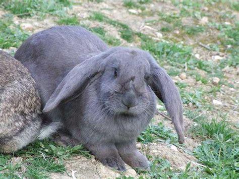 conigli in gabbia allevare conigli in gabbia 28 images conigli agosto