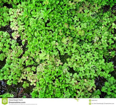 ground cover succulents stock photo image 58337637
