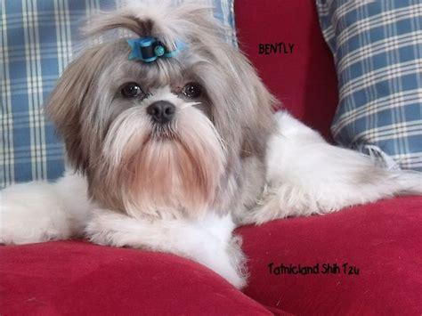 shih tzu puppies for sale in maine tatnicland shih tzu shih tzu breeder maine