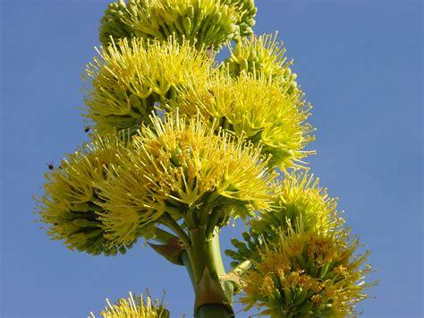 Anza Borrego Desert Flowers file agave deserti flower jpg wikimedia commons