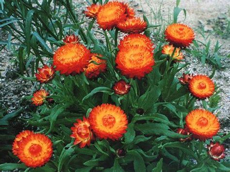 fiori da giardino pieno sole piante da pieno sole pagina 6 forum giardinaggio