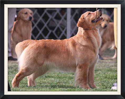 golden retriever puppies for sale bc registered golden retriever puppies for sale in bc photo