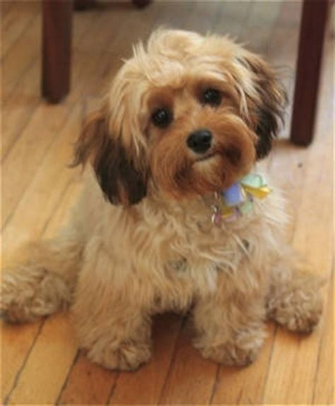 Cavapoo Shedding by Cavapoo These Things Are Teddy Bears A Mix