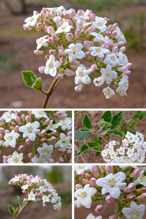 Scented Garden Flowers Burkwood Viburnum In The Scented Garden Deb S Garden Deb S Garden