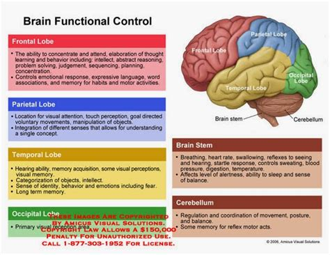 brain sections and functions mama galvan anatomy brain diagram and functions