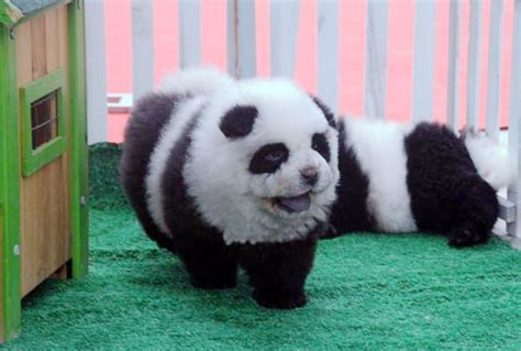 dogs that look like pandas all the rage dogs dyed to look like panda bears geekologie
