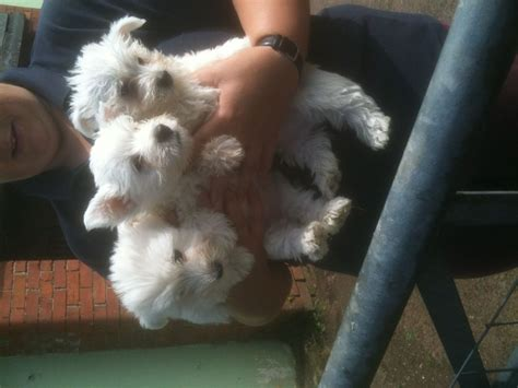westie puppies for sale adorable westie puppies for sale cullompton pets4homes
