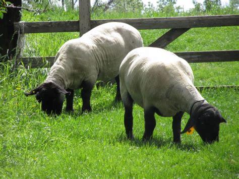 quali sono gli animali da cortile fattoria lungargine cani