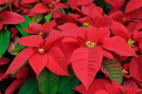 all about poinsettias news from cooperative extension