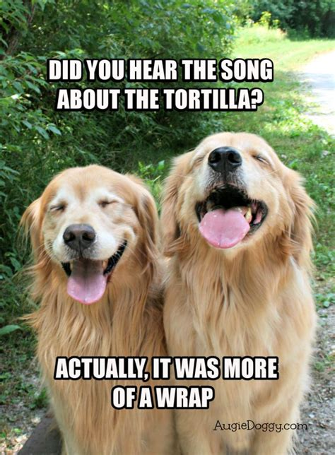 Golden Retriever Meme - funny golden retriever tortilla joke meme postcard by