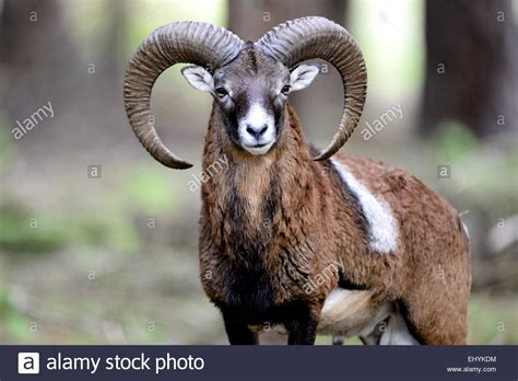 the ram animal mufflon animal ram aries ram mountain ovis ammon