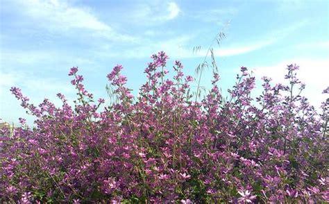 cespugli fioriti foto cespugli fioriti dall album natura di info deico su
