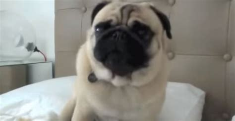 yoda the pug wait until you hear these pug noises hilarious