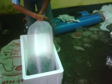Jual Bibit Ikan Nila Garut bibit ikan patin murah untuk budidaya dan pembesaran