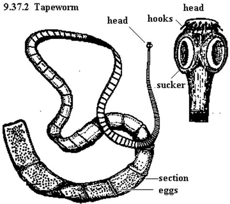 tapeworms the digestive system in the nine phyla