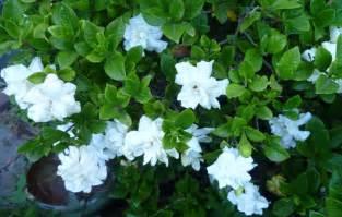 Gardenia Aimee Gardenia Quot Aimee Yoshiba Quot 7 Quot Pot Hello Hello Plants