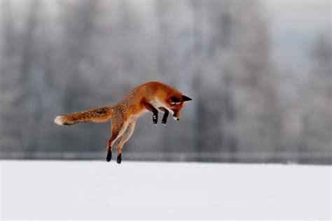 eine maus der fuchs hat eine maus im schnee lokalisiert und springt
