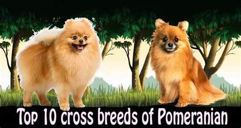Flat Mix Pom top 10 pomeranian cross breeds mix breeds by dogmal