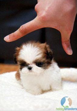 micro teacup shih tzu micro teacup shih tzu cuties just