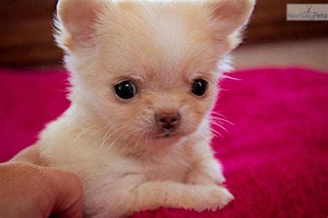 apple chihuahua puppies for sale near me free chihuahua puppies breeds picture