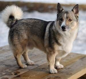 vallhund puppies swedish vallhund puppies for sale by reputable breeders pets4you
