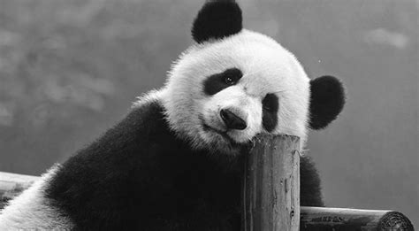 fotos en blanco y negro increibles curiosidades de 5 animales que visten de blanco y negro