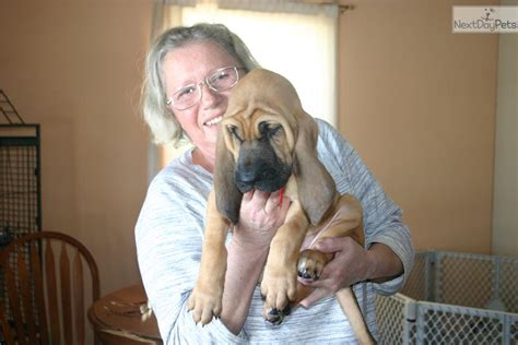 bloodhound puppies for sale in michigan puppies for sale near wisconsin breeds picture