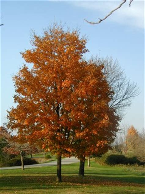 maple tree calgary 槭树 图片 影像 照片与事实枫树树