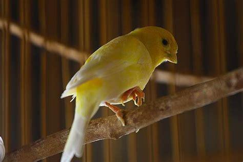 Tangkringan Burung Plastik bumble foot pembengkakan pada kaki kenari klub burung