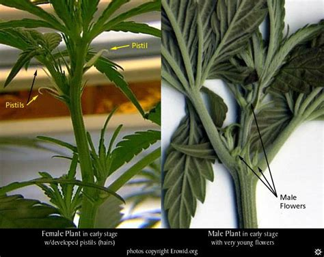determining the sex of marijuana male or female marijuana plant