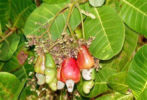 cashew nut fruit tree go healthy style nut cashew nuts