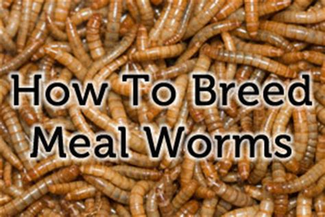 how to breed mealworms gecko time gecko time