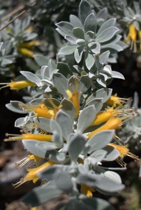 silver foliage plants australia eremophilas as ground cover eremophila kalbarri carpet
