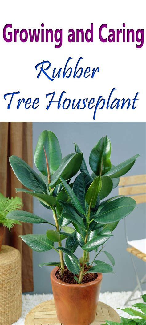 rubber tree plant care plants trees  houseplant