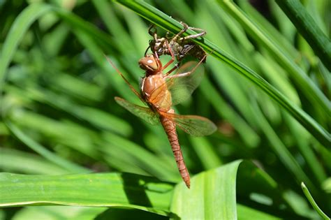 i see a dragonfly dragonfly guys books dragonflies patrolling the skies above my koi pond