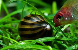All about Snails for Your Freshwater Tanks   Reefland.com