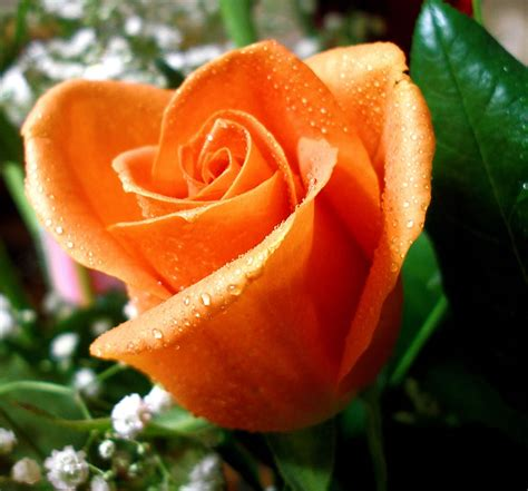 imagenes rosas grandes el rosal y sus grandes opciones infoflor