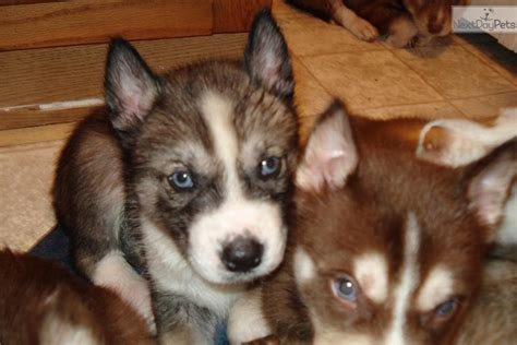 agouti husky puppies for sale the gallery for gt agouti husky puppies for sale