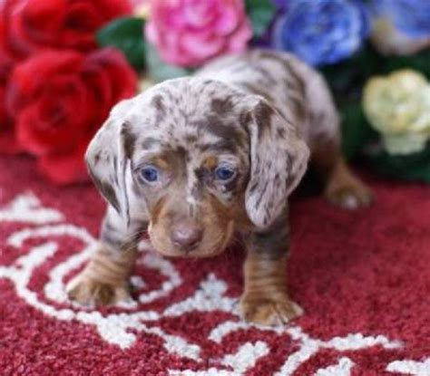 haired dapple dachshund puppies for sale 17 best images about dachshund dogs on miniature hair and minis